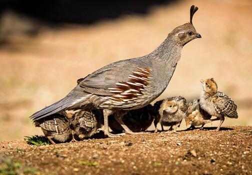 Moore_baby_quail_051617_t715